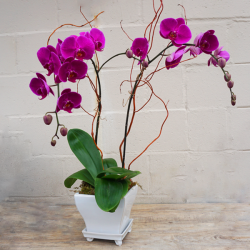 Double Stem Purple Orchid