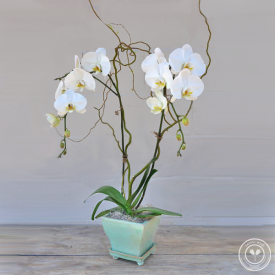 Double Stem White Orchid